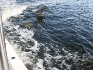 A regular visitor to Punta Gorda and Charlotte Harbor!
