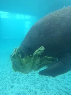 A rescued manatee, Hugh, at Mote Marine Aquarium.
