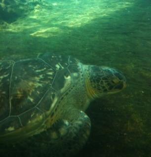 Sea turtle at Mote Marine Aquarium
